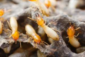 Termite Inspections and Control